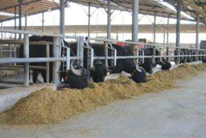 モッツァレッラ工場の水牛