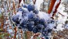 氷結したブドウから造る「アイスワイン」
